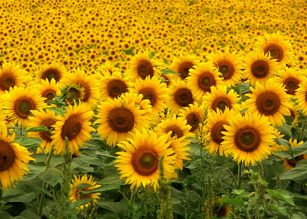 sunflower20field202.jpg (600×429)